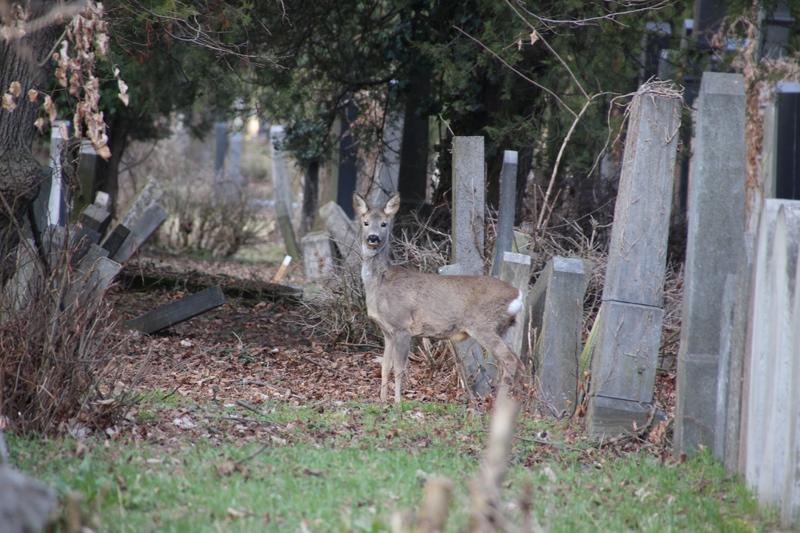 Rehe auf dem Zentralfriedhof in Wien, Tiere auf dem Friedhof