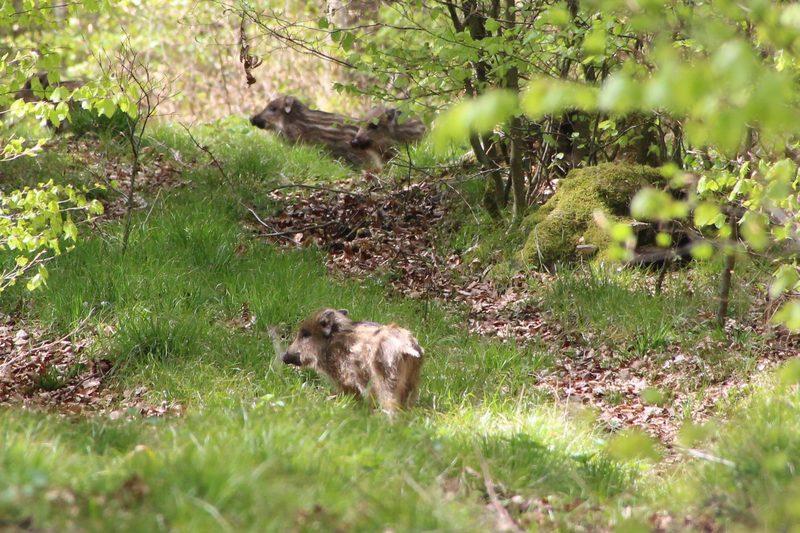 Wildschweine-Leiberg