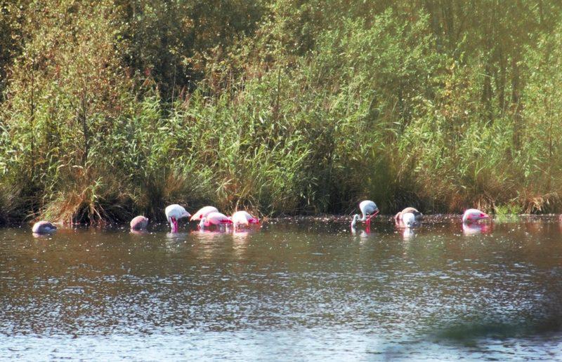 Flamingos-im-Münsterland-1