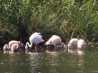 Flamingos in Deutschland, in Nordrhein-Westfalen