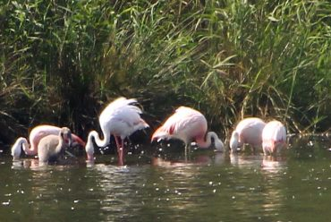 Flamingos in Deutschland, in Nordrhein-Westfalen