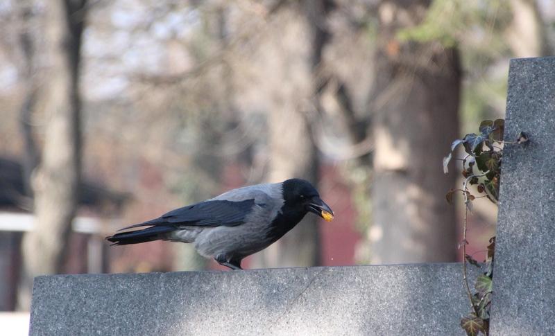 Tiere auf dem Friedhof, Nebelkrähe,