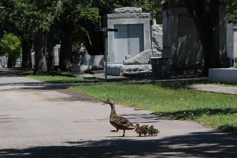 Entenfamilie auf dem Friedhof, Mama Ente mit Baby Enten, Entenbabies auf dem Friedhof